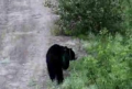 Black Bear With Three Legs!!!