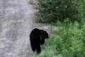 Black Bear With Three Legs!!!