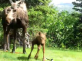 Baby Moose vs Sprinker