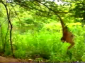 Monkey vs Tiger (Funny)