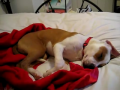 Cute Dog Crying in Sleep