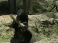 Ninja Bear!