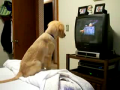 Cute puppy watching TV