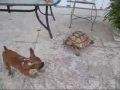 Turtle Chases Dog (so funny)