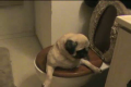 Pug in a Toilet