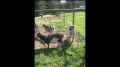 Our goats enjoying the sun and the fact that spring is here!