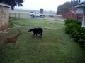 Dog and Deer Play Football