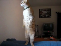 Amazing standing cat