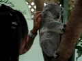Cute Ticklish Koala