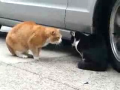 Cat Argument Caught on Tape