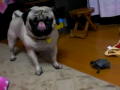 Pug Allergic to Turtle