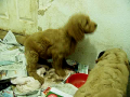 Bunny and Wiggle's doodle puppies