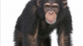 Facts about Chimpanzees