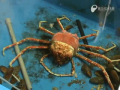 Giant Crab Sheds His Shell