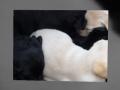 Labrador puppies sleeping NSW Australia