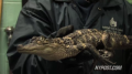 Gator Found in New York Sewer