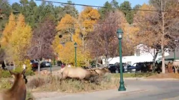 Bull Elk rounding up his harem
