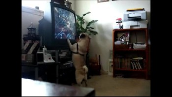Emotional Pug Watching TV Show