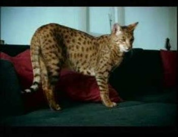 SEE ONE OF THE MOST EXPENSIVE PET CATS IN THE WORLD