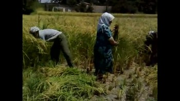 دروی شالی در بندرگز - Rice Cutting in Bandar Gaz