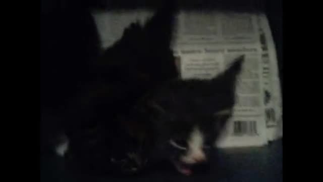 hersheys kittens