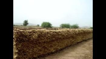 good millet harvest