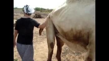 American milks camel
