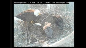 Baby Eagles being Feed