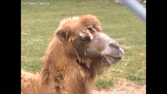 Fast Chewing Llama