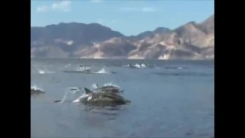 AMAZING! Dolphin Stampede