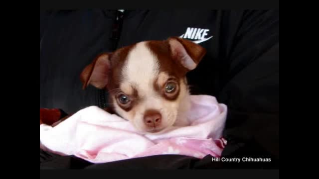 Hill Country Chihuahuas 2011