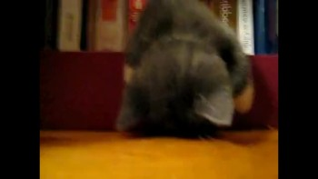Kitten Falls Asleep on Bookshelf