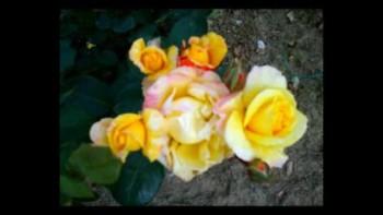 Rosas de libertad