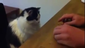 Adorable Cat Plays Shell Game