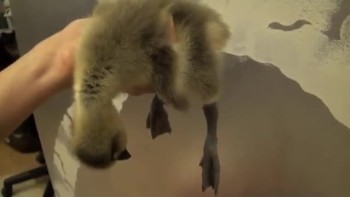 Baby Goose Falls Asleep - SO CUTE