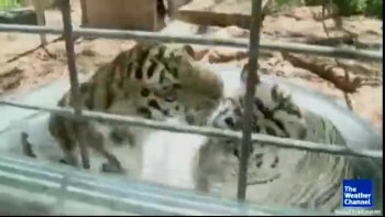 big cat take baths (CUTE!!)