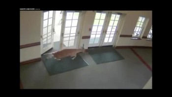 Hysterical Runaway Deer in Church