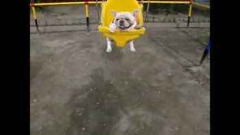 Cute bulldog love to Swing!
