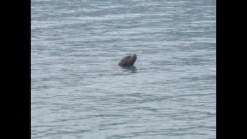 Sea Lion in Valdez, AK