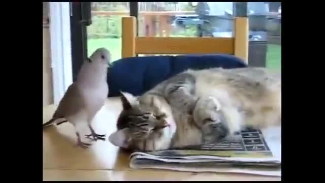 Funny Bird Wakes Up Cat