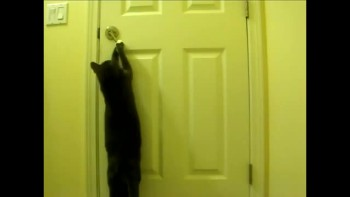 Funny cat opens door