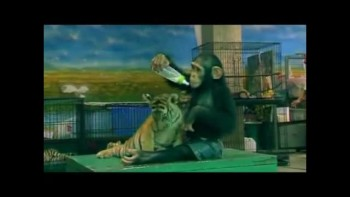 Baby Chimp Feeds Baby Tiger - SO CUTE!!!