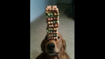 Patient Dog Balances Stack of Treats