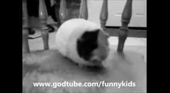 Guinea Pig Dance