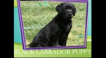Labrador Puppies for Sale NSW