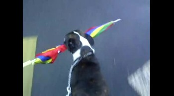 dog carries umbrella