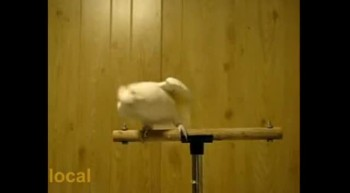 Dancing  Cockatiel