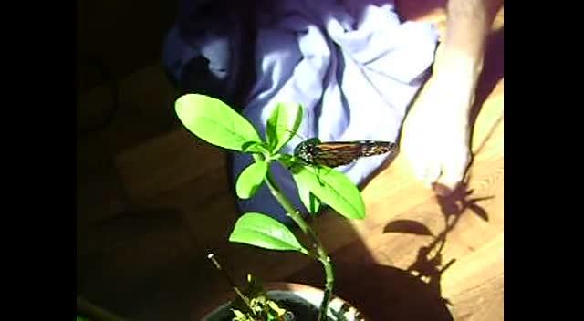 Mariposa Butterfly 03