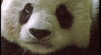 Another Funny Panda Bear - San Diego Zoo