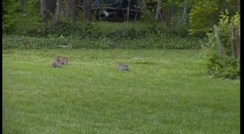 Three Bunnies Playing Outside